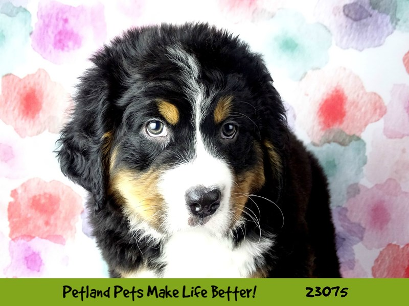 Bernese Mountain Dog-Male-Black / Tan-2656289-Petland Naperville