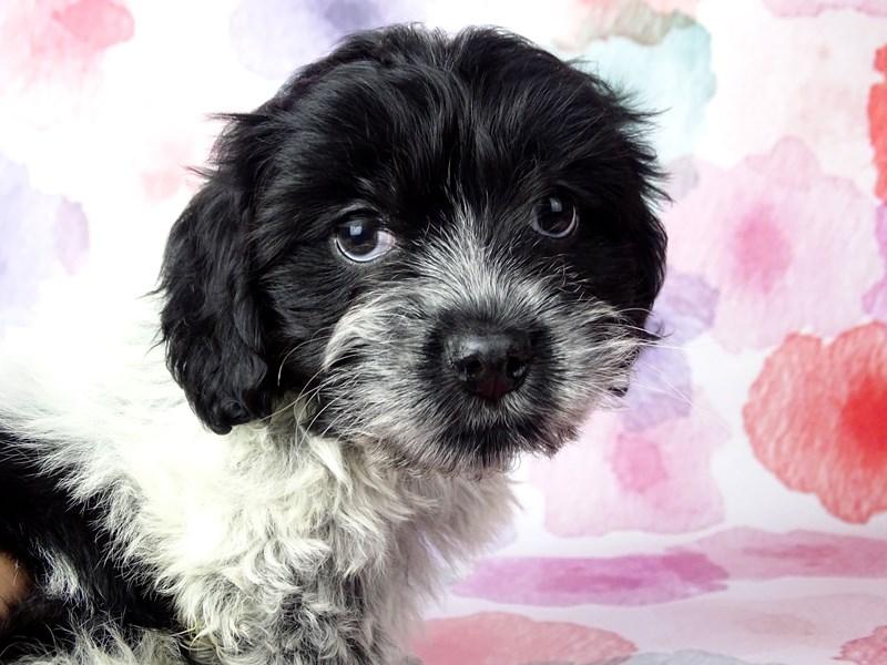 Cockachon-DOG-Male-Black / White-2656575-Petland Naperville