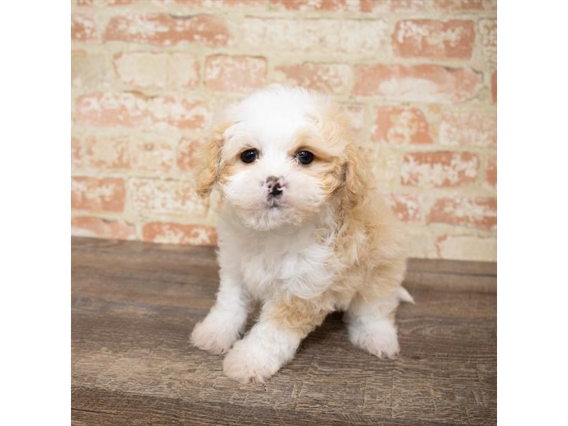 Shihpoo-DOG-Female-Cream-2657990-Petland Naperville