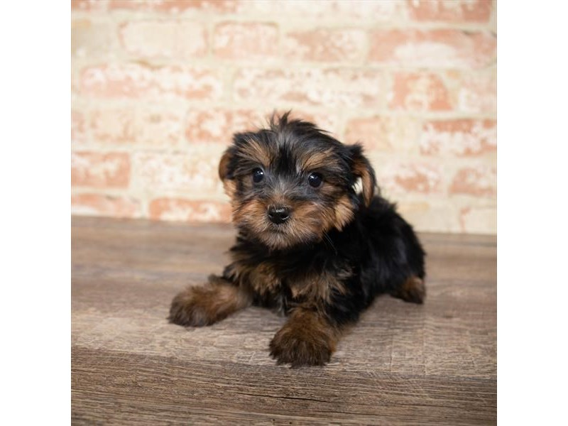 Yorkshire Terrier-DOG-Female-Black / Tan-2657992-Petland Naperville