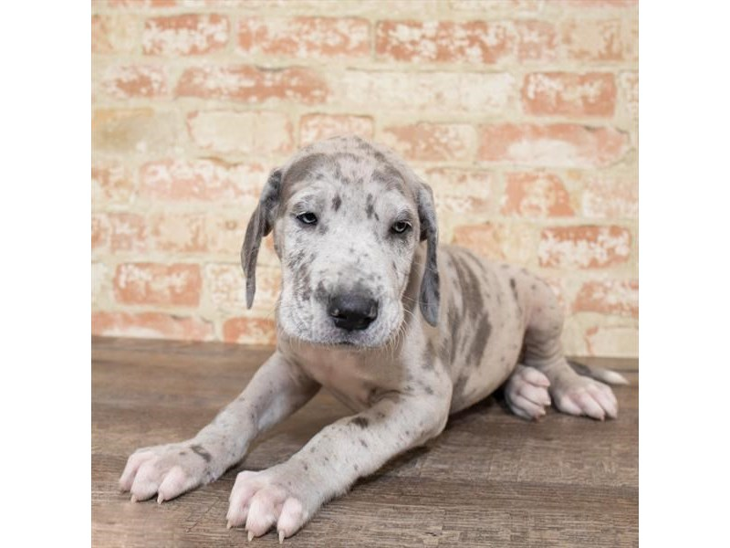 Great Dane-Male-Blue-2657995-Petland Naperville