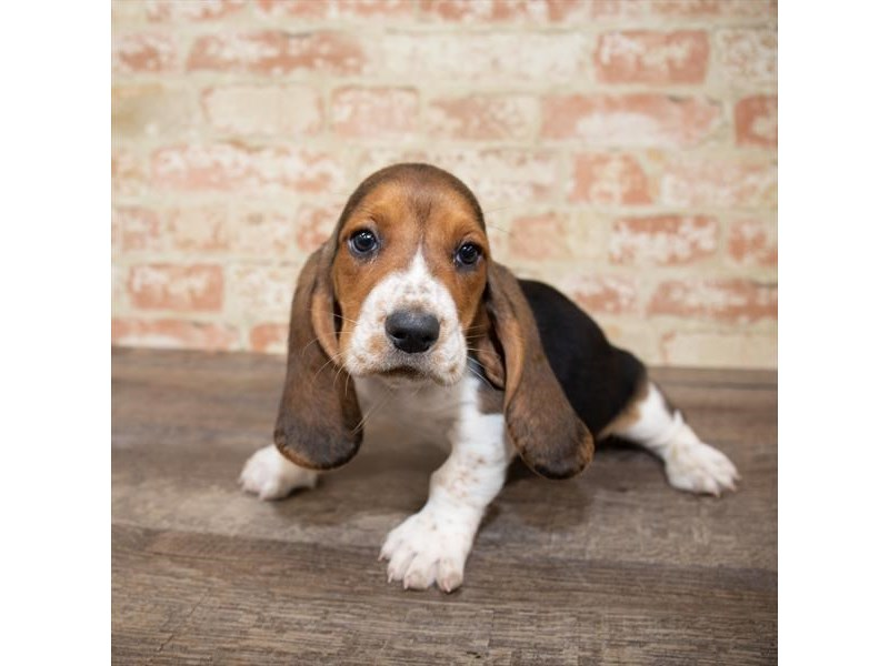 Basset Hound-Male-Blue White / Tan-2657998-Petland Naperville