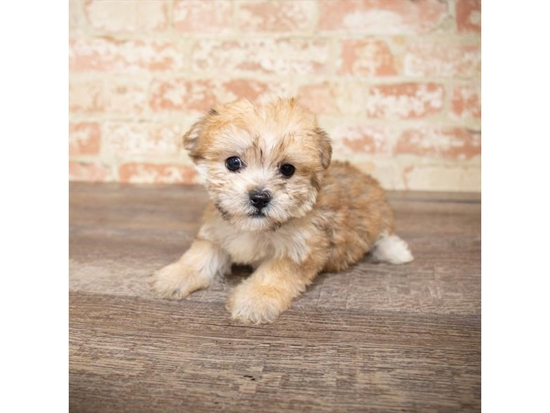 Yorkiepoo-DOG-Female-Golden-2658010-Petland Naperville