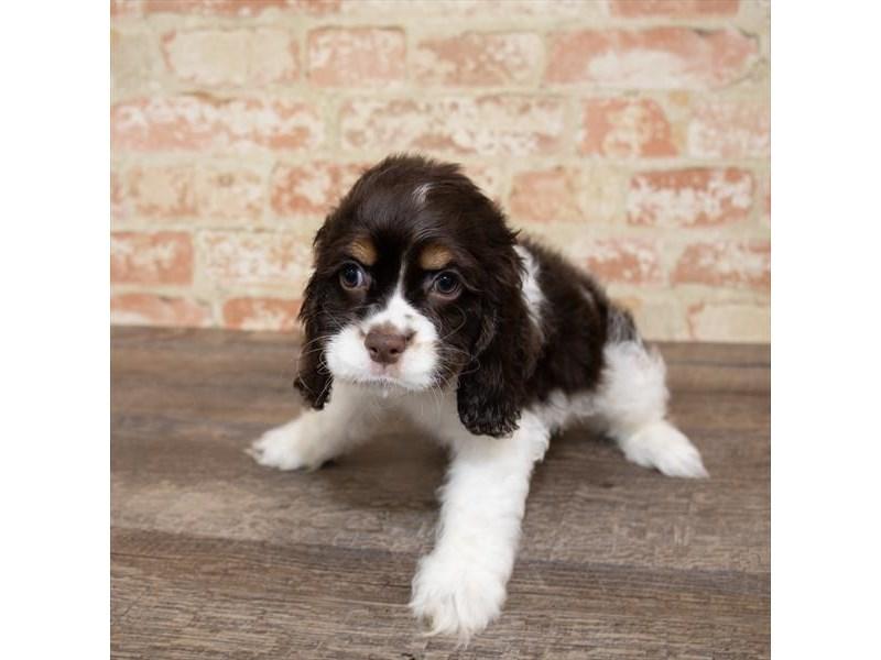 Cocker Spaniel-DOG-Female-Brown-2658011-Petland Aurora