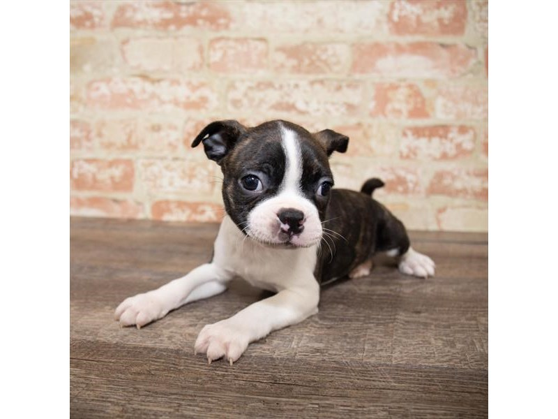 Boston Terrier-DOG-Male-Brindle / White-2658013-Petland Naperville