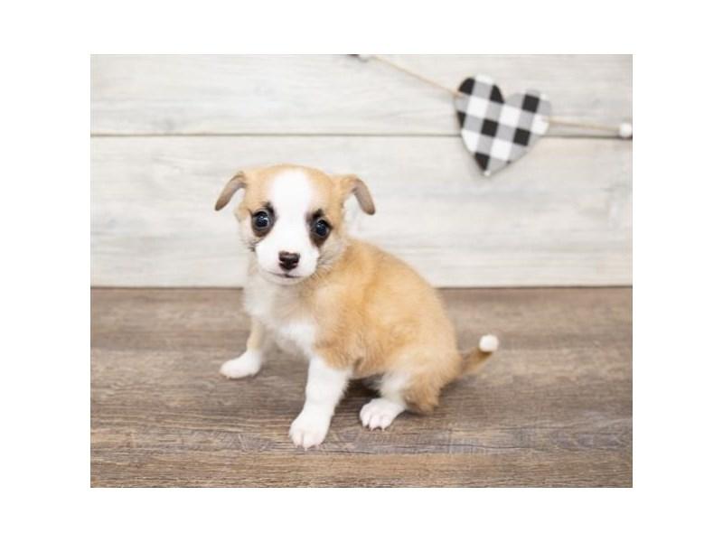 Chihuahua-Male-Fawn-2621758-Petland Naperville