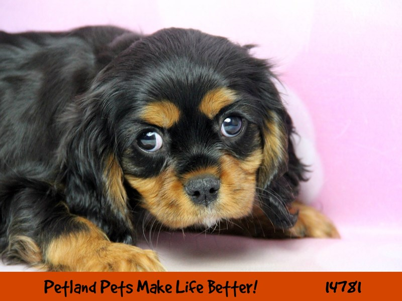 Cavalier King Charles Spaniel-Female-Black and Tan-2633684-Petland Naperville