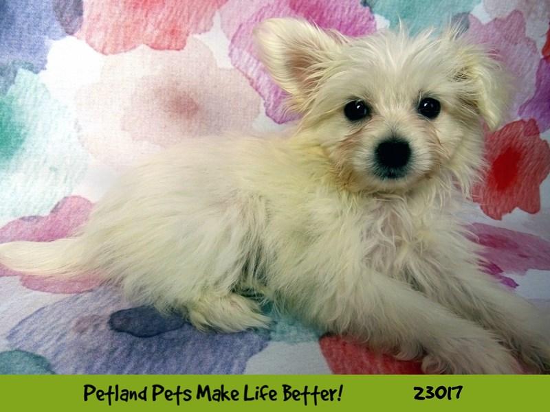 Pomachon-Female-Cream-2634125-Petland Naperville