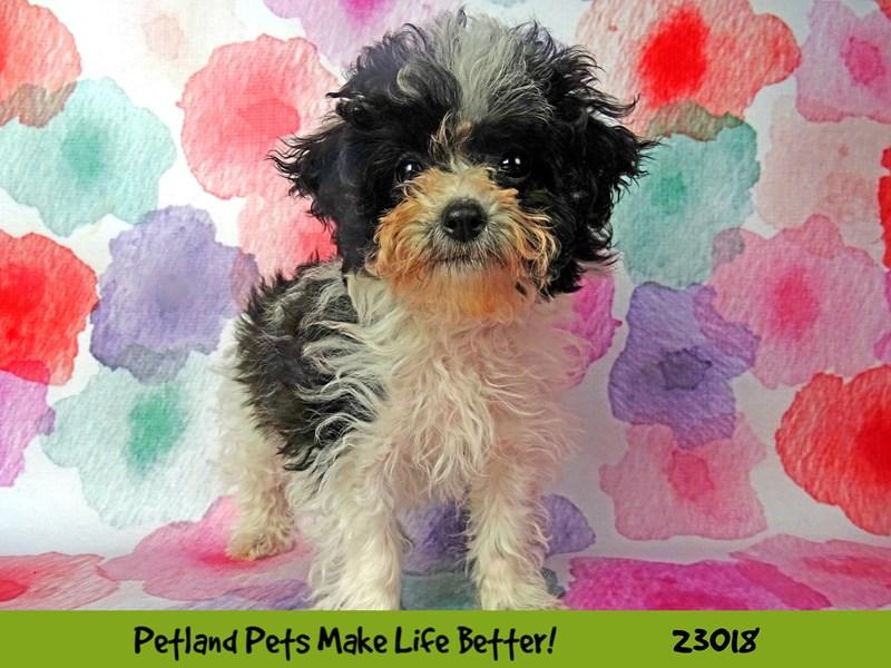 Bichapoo-DOG-Female-Black / White-2634128-Petland Naperville