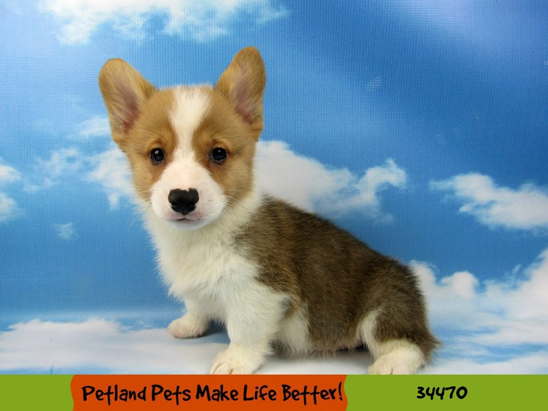 Pembroke Welsh Corgi-DOG-Male-Sable / White-2634875-Petland Naperville