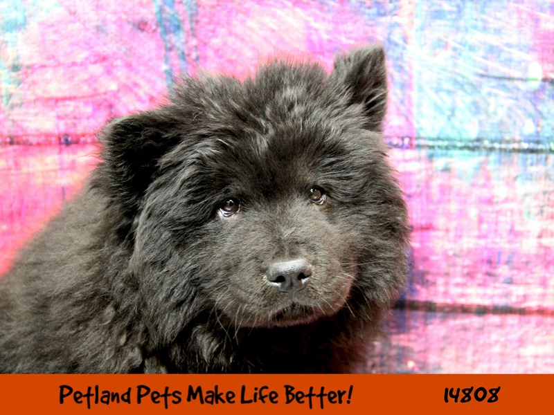 Chow Chow-Male-Black-2641589-Petland Naperville