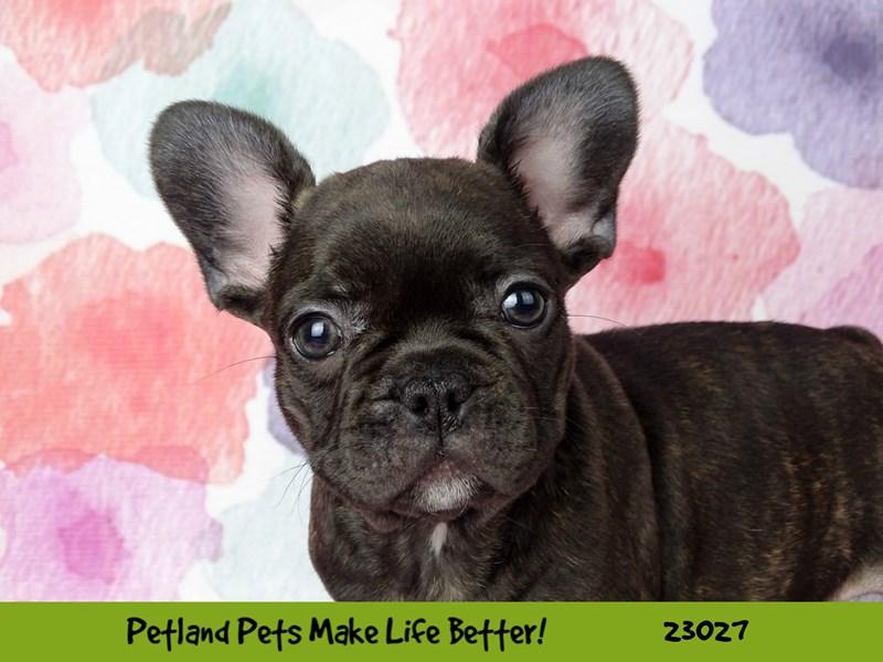 French Bulldog-DOG-Female-Brindle-2641537-Petland Naperville