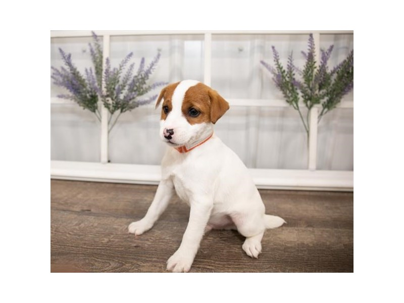 Jack Russell Terrier-DOG-Male-White-2644004-Petland Naperville