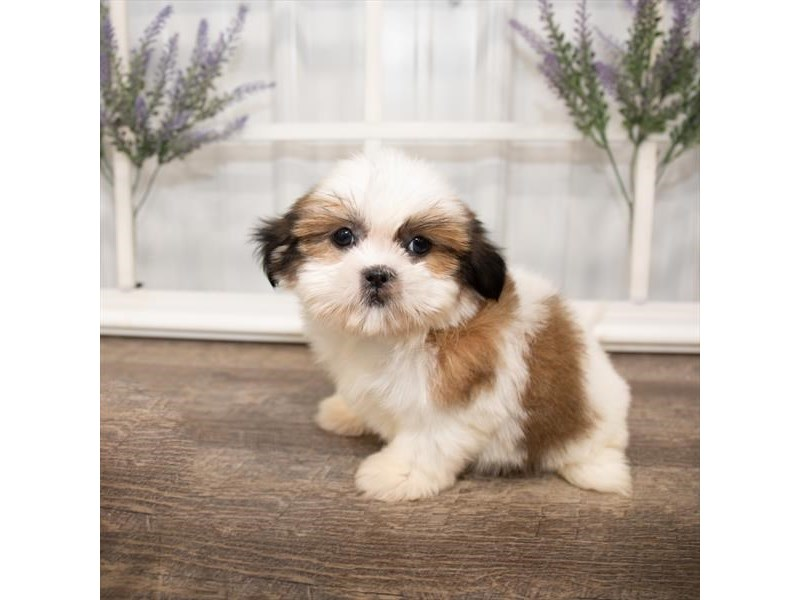 Shih Tzu-DOG-Female-Gold / White-2644007-Petland Naperville