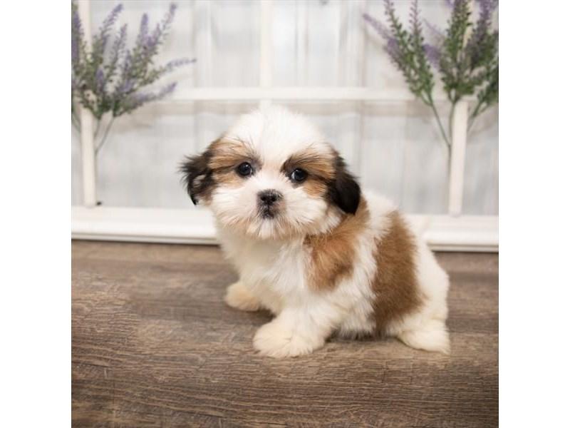 Shih Tzu-DOG-Female-Gold / White-2644007-Petland Aurora