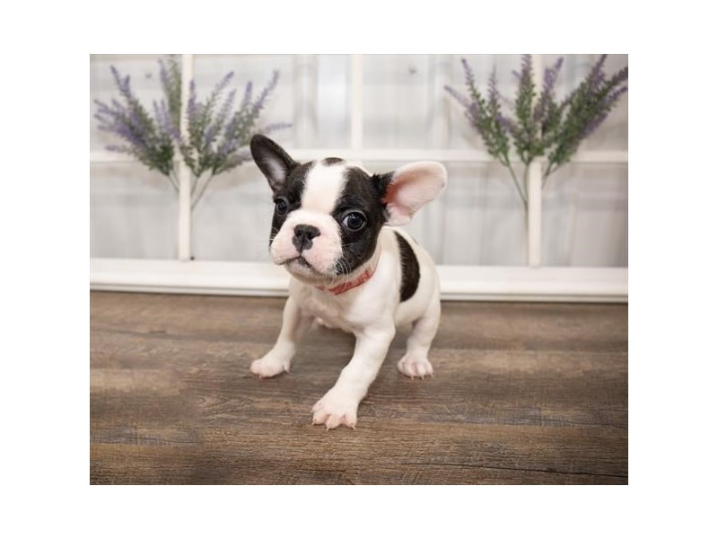 French Bulldog-DOG-Male-Black-2644015-Petland Naperville