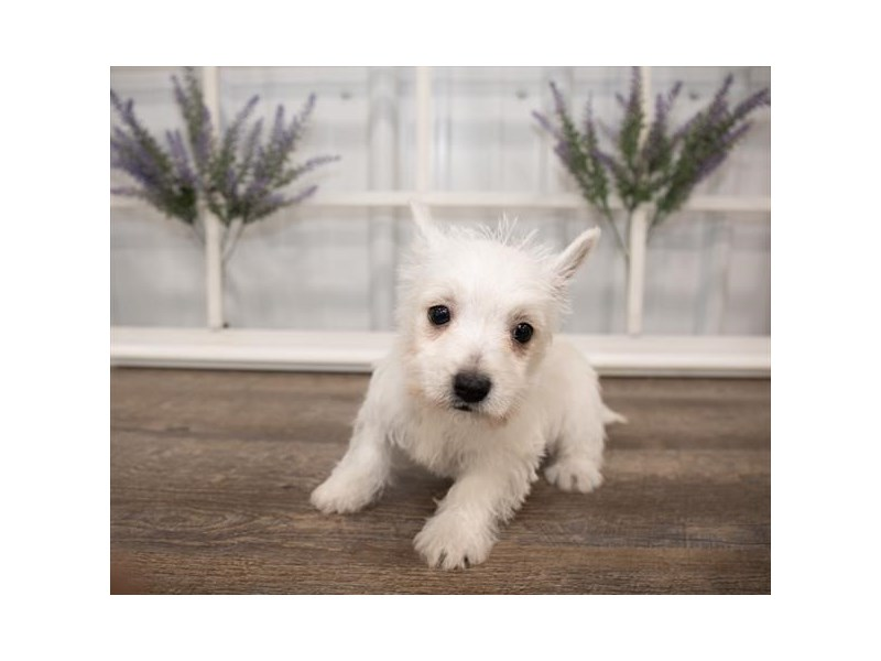 West Highland White Terrier-Female-White-2644020-Petland Naperville