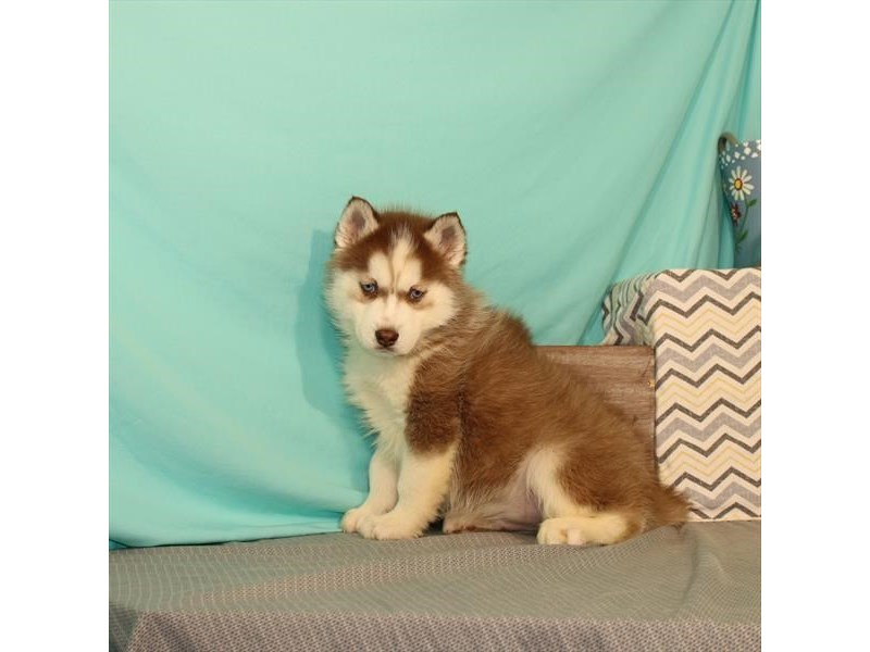 Siberian Husky-DOG-Male-Red / White-2649236-Petland Naperville