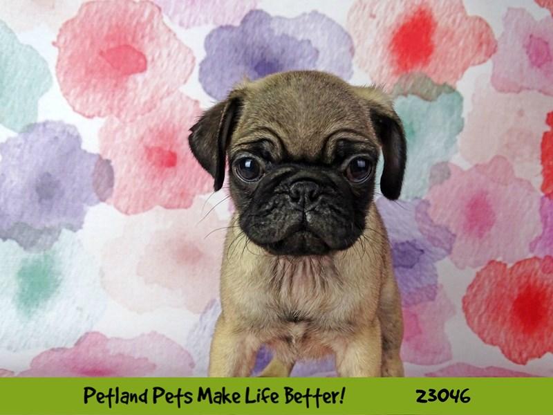Pug-Female-Fawn-2649164-Petland Naperville