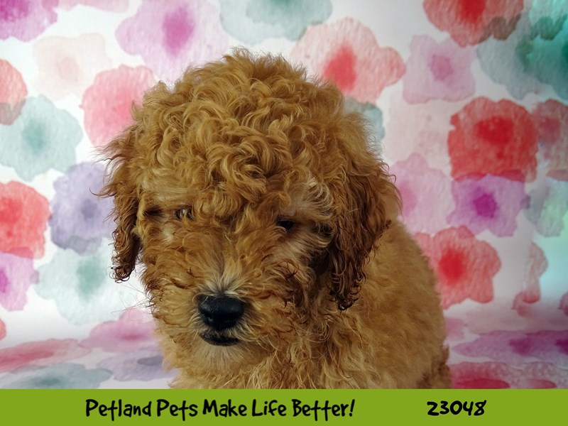 2nd Generation Mini Goldendoodle-DOG-Male-Apricot-2649242-Petland Naperville