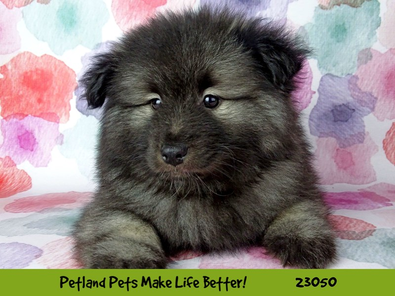 Keeshond-DOG-Female-Silver / Black-2649175-Petland Naperville