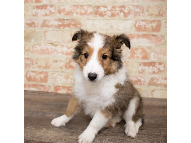 Shetland Sheepdog-Male-Sable / White-2651281-Petland Naperville