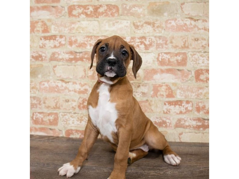 Boxer-DOG-Female-Fawn-2651306-Petland Naperville