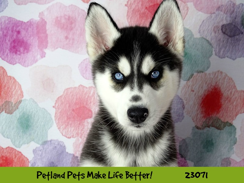 Siberian Husky-DOG-Female-Black and White-2656520-Petland Naperville
