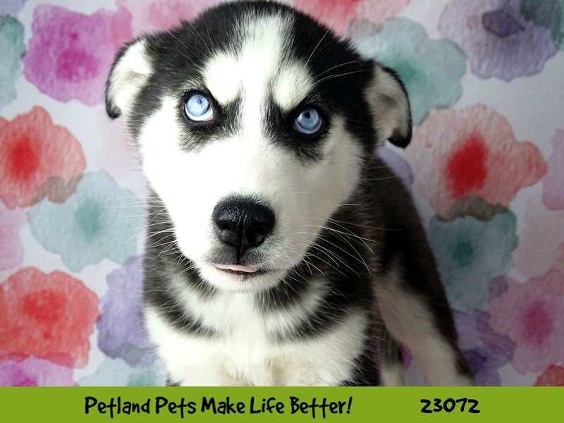 Siberian Husky-DOG-Male-Black and White-2656521-Petland Naperville