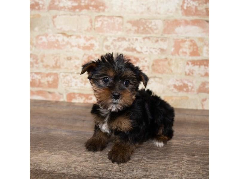 Yorkshire Terrier-DOG-Female-Black / Tan-2657994-Petland Naperville