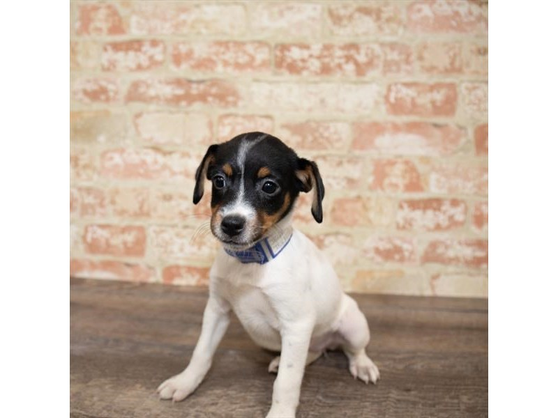 Jack Russell Terrier-DOG-Female-White-2658001-Petland Aurora