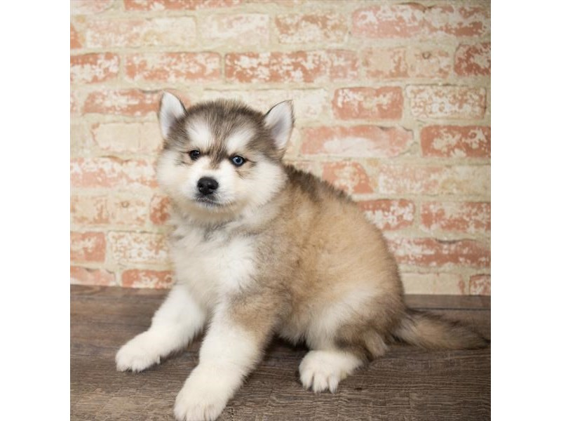 Pomsky-Male-Red Sable-2658004-Petland Naperville