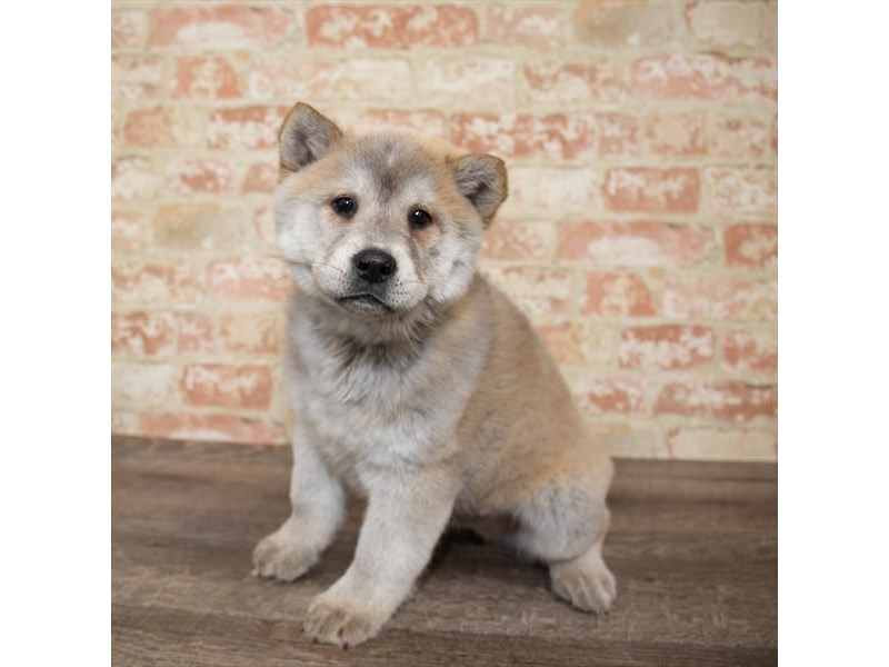 Chowsky 2nd Gen-DOG-Male-Sable-2658024-Petland Aurora