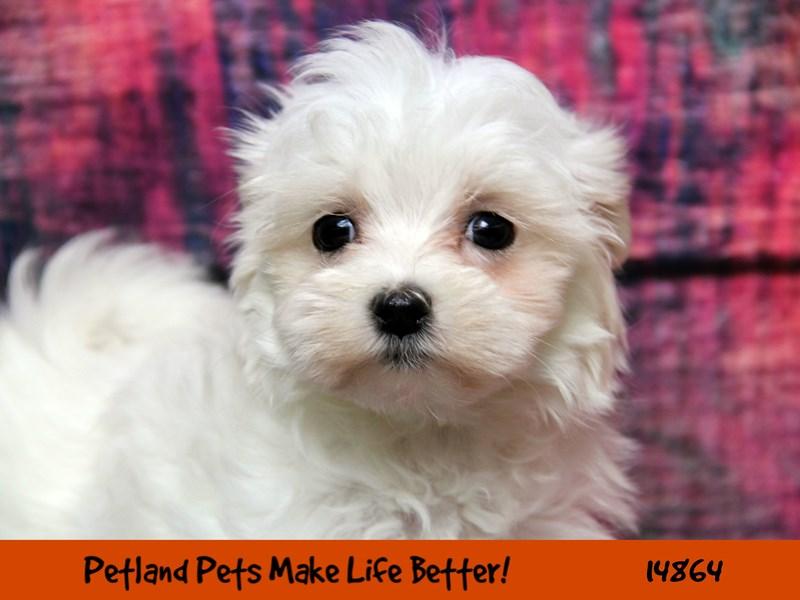 Maltese-DOG-Male-White-2658038-Petland Naperville