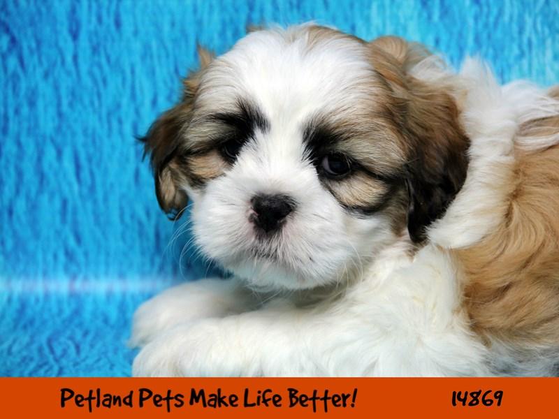 Malshi-DOG-Male-Gold / White-2657972-Petland Aurora