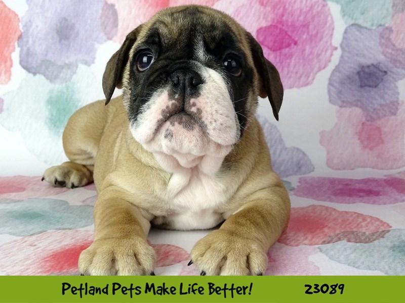 Bulldog-Female-Fawn / White-2658022-Petland Naperville