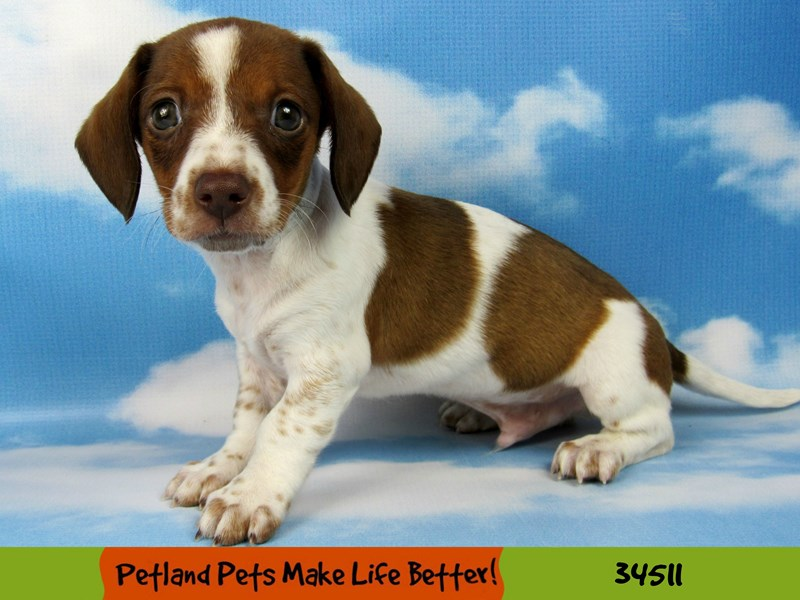 Dachshund-DOG-Male-Red-2658420-Petland Naperville