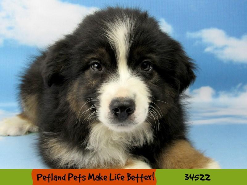 Miniature Australian Shepherd-DOG-Male-Black Tri-Color-2674979-Petland Naperville