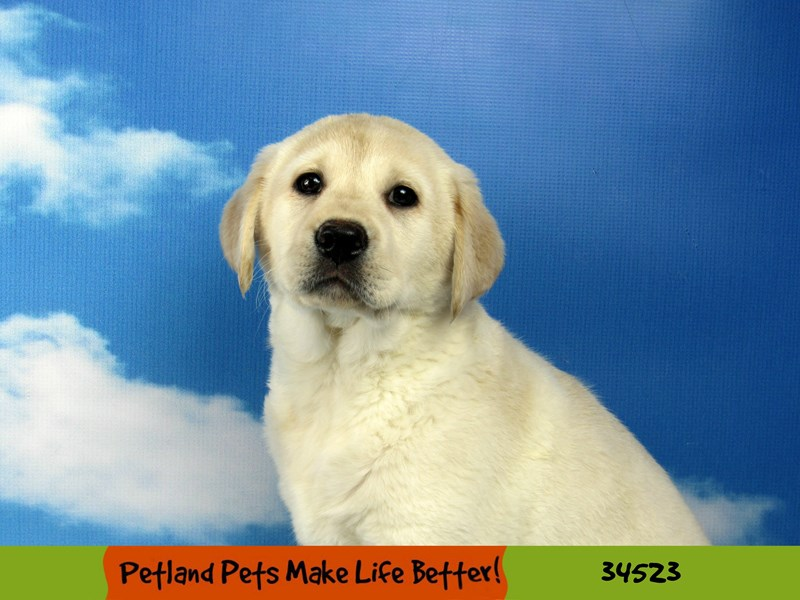 Labrador Retriever-DOG-Female-Yellow-2674992-Petland Naperville