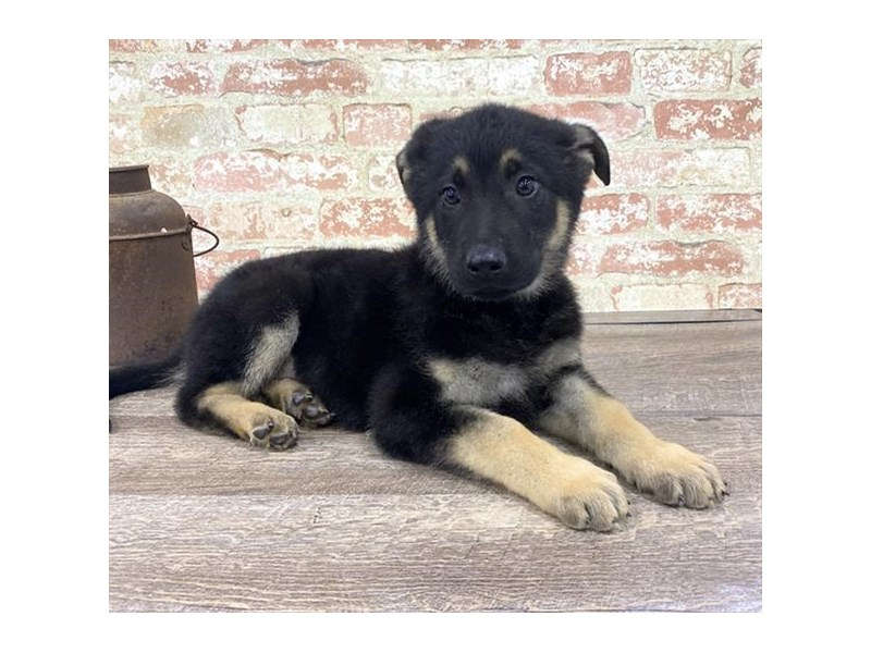 German Shepherd Dog-DOG-Male-Black / Tan-2676867-Petland Naperville