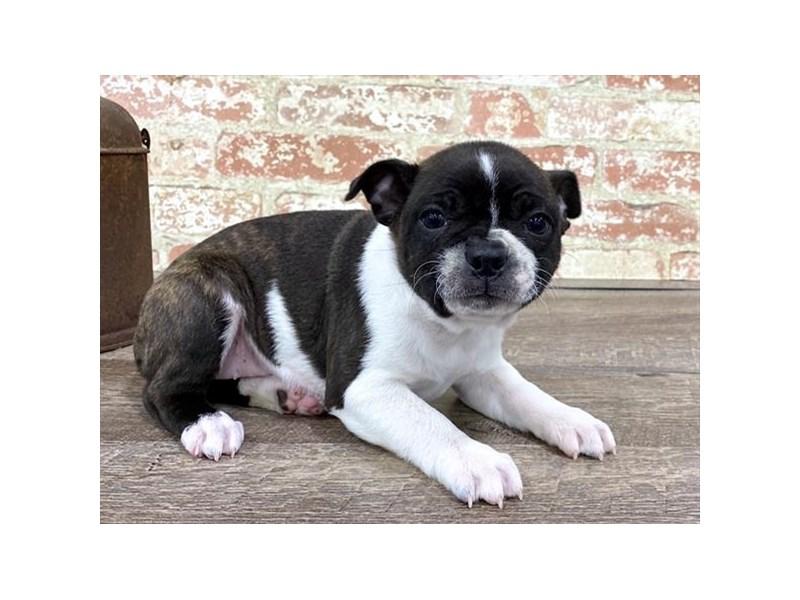 Boston Terrier-DOG-Female-Brindle / White-2676868-Petland Naperville