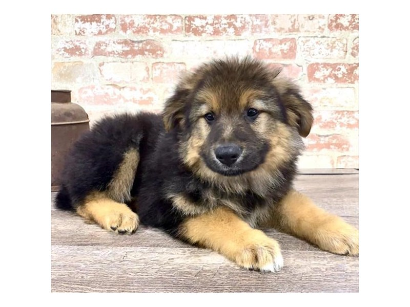 German Shepherd Dog-DOG-Male-Black / Tan-2676869-Petland Naperville