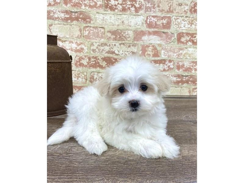 Maltese-DOG-Female-White-2676870-Petland Naperville