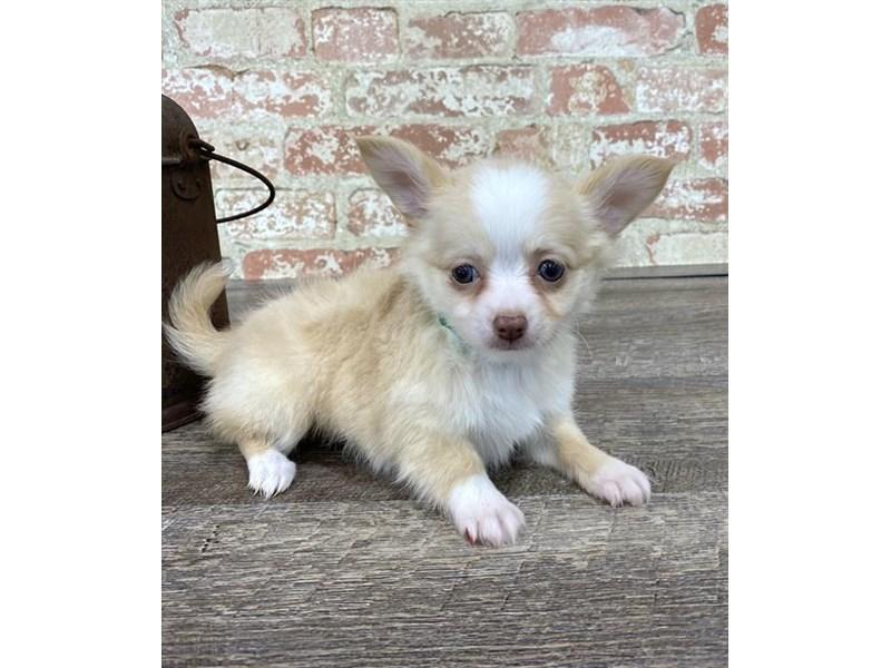 Chihuahua-Female-Cream-2676871-Petland Naperville