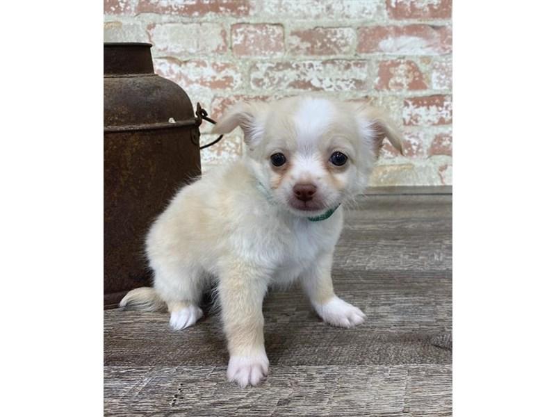 Chihuahua-DOG-Male-Cream-2676872-Petland Naperville