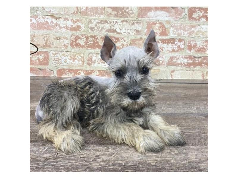 Miniature Schnauzer-DOG-Female-Salt / Pepper-2676873-Petland Aurora