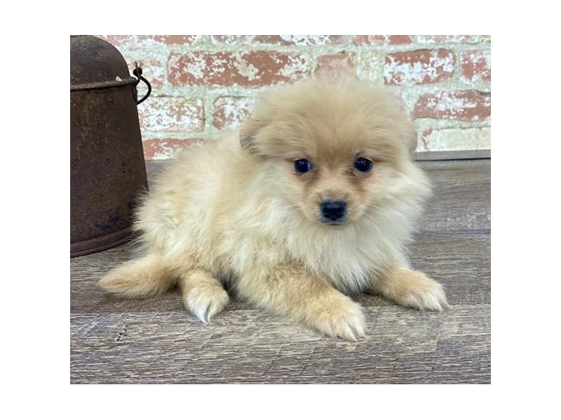 Pomeranian-Female-Orange-2676877-Petland Naperville