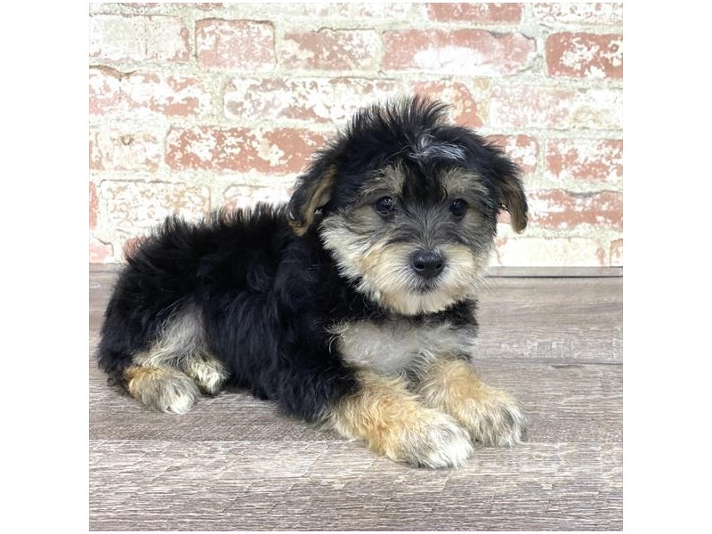 Yorkiepoo-DOG-Male-Black / Tan-2676879-Petland Aurora