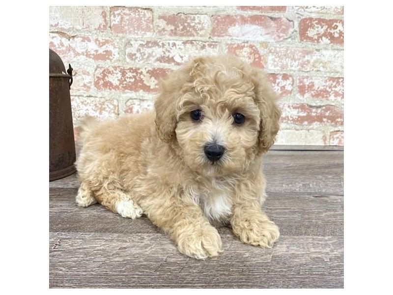 Maltipoo-DOG-Male-Apricot-2676880-Petland Naperville