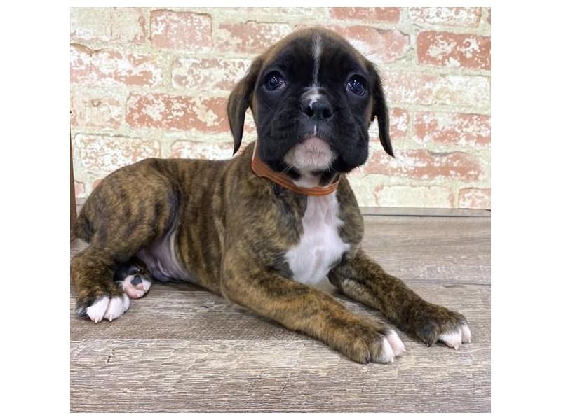 Boxer-Male-Brindle-2677197-Petland Naperville